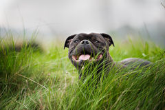 Close-up portrait of black staffordshire bull Royalty Free Stock Photography