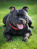Close-up portrait of black staffordshire bull terrier Royalty Free Stock Photos