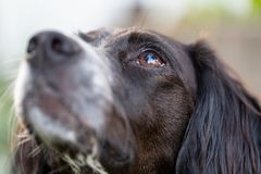 Close up portrait of a black and white brittany spaniel stock images