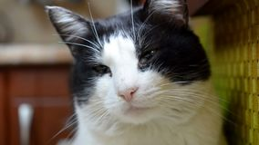 Close-up portrait of black and white cat. Looks around and turns his head. stock video