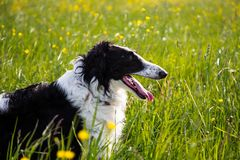 Close-up Portrait of black and white dog breed russian borzoi lying in the green grass and yellow buttercup meadow. Profile Portrait of beautiful black and white stock images