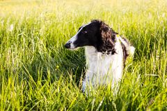 Close-up Portrait of black and white dog breed russian borzoi lying in the green grass and yellow buttercup meadow. Profile Portrait of beautiful black and white royalty free stock images