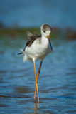 Close up portrait of Black-winged Stilt Stock Photos