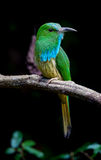 Close up portrait of Blue-bearded Bee-eater Stock Image