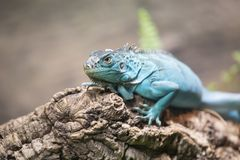 Portrait of sa blue iguana on a branch. Royalty Free Stock Images