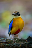 Close up portrait of Blue-winged pitta (Pitta moluccensis) royalty free stock photos