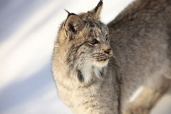 CLose-up portrait of bobcat. Portrait of a bobcat in snow Royalty Free Stock Photos