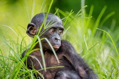 Close up Portrait of Bonobo Cub Stock Photos