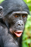 Close up Portrait of Bonobo. Green natural background. The Bonobo Stock Photo