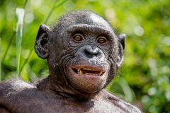 Close up Portrait of Bonobo. Stock Image