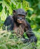 Close up Portrait of Bonobo. Stock Photos