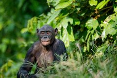 Close up Portrait of Bonobo. Royalty Free Stock Image