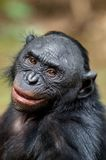 Close up Portrait of Bonobo Stock Images