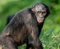 Close up Portrait of Bonobo Stock Photos