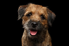 Close-up portrait of border terrier dog. Close-up portrait of fabulous border terrier dog with kind eyes looking toy isolated on black background, front view Royalty Free Stock Photography