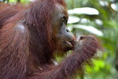 A close up portrait of the Bornean orangutan Pongo pygmaeus in the wild nature. Central Bornean orangutan  Pongo pygmaeus wurmb. Ii  in natural habitat. Tropical Royalty Free Stock Image