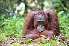 A close up portrait of the Bornean orangutan Pongo pygmaeus in the wild nature. Central Bornean orangutan  Pongo pygmaeus wurmb. Ii  in natural habitat. Tropical Stock Photo