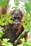 A close up portrait of the Bornean orangutan Pongo pygmaeus in the wild nature. Central Bornean orangutan  Pongo pygmaeus wurmb. Ii  in natural habitat. Tropical Royalty Free Stock Photography