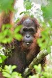 A close up portrait of the Bornean orangutan Pongo pygmaeus in the wild nature. Central Bornean orangutan  Pongo pygmaeus wurmb Royalty Free Stock Photography