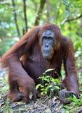 Close up Portrait of Bornean orangutan in the wild nature. Central Bornean orangutan ( Pongo pygmaeus wurmbii ) in natural stock photo