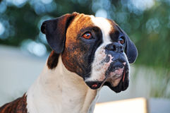 Close-up portrait brindle and white purebred Boxer dog. A beautiful detailed close up portrait of a sweet and gentle adult purebred Boxer dog. The color of the stock images