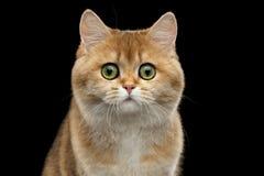 Close-up Portrait British Cat Gold Chinchilla, Green eyes,  Black Stock Photo