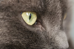 Close up portrait of british shorthair cat Stock Photo