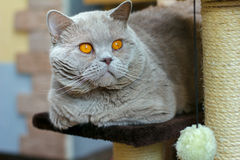 Close-up portrait British shorthair lilac cat Royalty Free Stock Photography