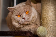 Close-up portrait British shorthair lilac cat Stock Photos