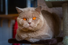 Close-up portrait British shorthair lilac cat Stock Photography