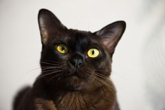Close-up portrait of Brown Burmese Cat with Chocolate fur color and yellow eyes, Curious Looking, European Burmese Personality stock photography