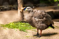 barren goose royalty free stock photos