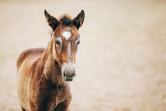 Close Up Portrait Of Brown Foal. Young Horse. Copyspace Stock Photography