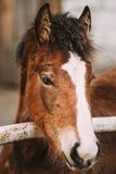 Close Up Portrait Of Brown Foal. Young Horse. Toned Instant Photo Royalty Free Stock Photo