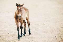 Close Up Portrait Of Brown Foal. Young Horse. Toned Instant Photo Royalty Free Stock Photos