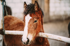 Close Up Portrait Of Brown Foal. Young Horse. Toned Instant Photo Royalty Free Stock Images