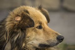 Close-up portrait of a brown homeless shaggy dog with a label on his ear located on the street royalty free stock photo