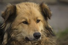 Close-up portrait of a brown homeless shaggy dog with a label on his ear located on the street stock photography