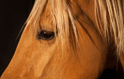 Close Up Portrait of a Brown Horse with Blonde Mane Stock Photography