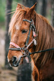 Close Up Portrait Of Brown Horse Stock Photography