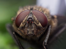 Close Up Portrait of Brown Housefly with Red Eyes Royalty Free Stock Photo