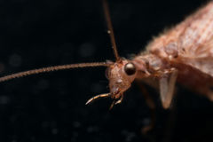 Close up Portrait of Brown Lacewing (micromus) Stock Photo