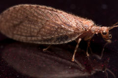 Close up Portrait of Brown Lacewing (micromus) Royalty Free Stock Images