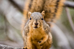 Close up portrait of a brown squirrel. Royalty Free Stock Images