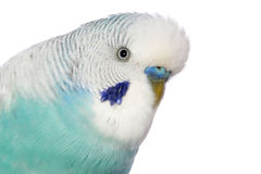 Close-up portrait of a budgerigar Stock Photo