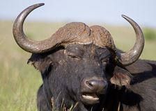 Close-up portrait of  buffalo bull Royalty Free Stock Photography