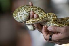 Close-up portrait of a Burmese python - the world`s largest snake. Close-up portrait of a young yellow pattern Burmese python Python bivittatus held in hand royalty free stock photo