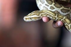 Close-up portrait of a Burmese python - the world`s largest snake. Close-up portrait of a young yellow pattern Burmese python Python bivittatus held in hand stock image