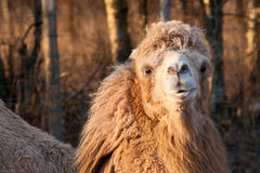 Close-up Portrait of camel. Close-up Portrait of beauty and shaggy camel at sunset stock photo