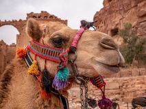 Portrait of a camel in the desert stock image